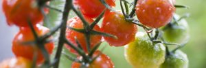 トマト栽培農家