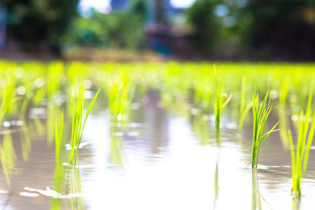 稲作栽培農家